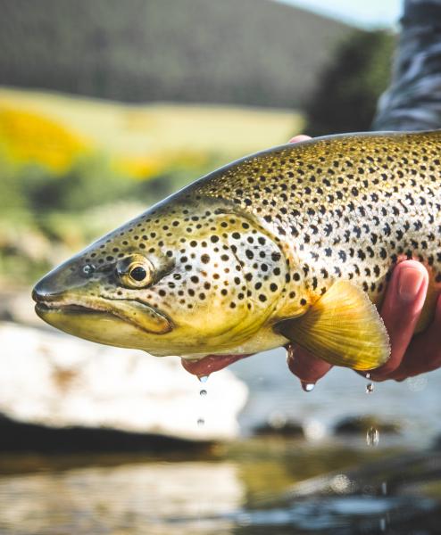 River Trout Selection